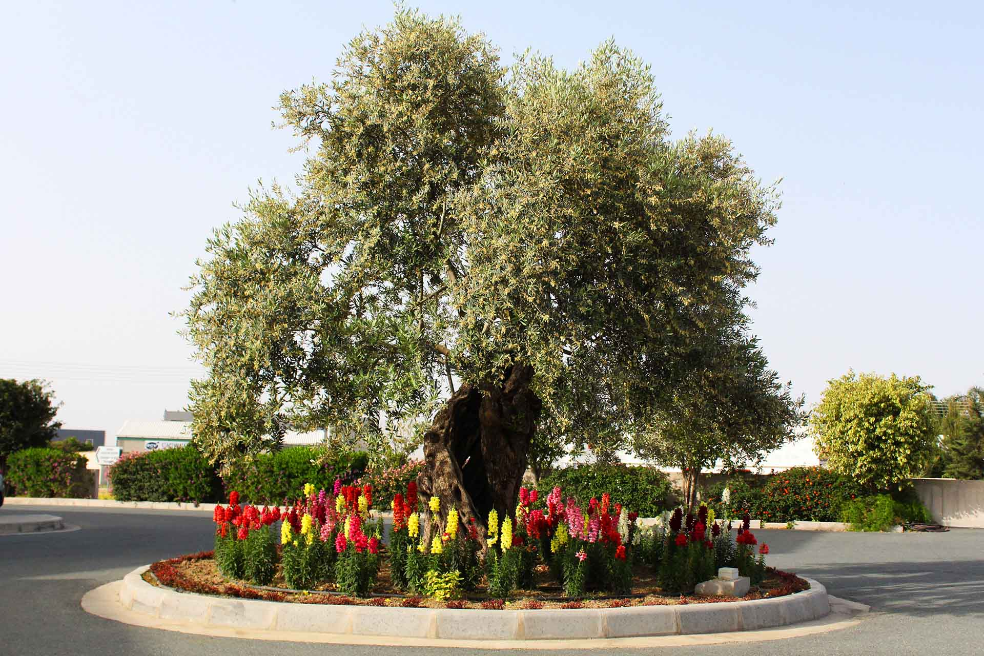 Toumazi Physio Home - Olive Tree