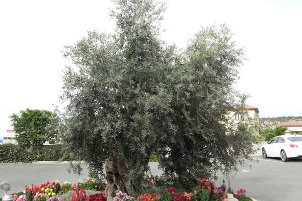 Toumazi Physio Gallery - Olive tree